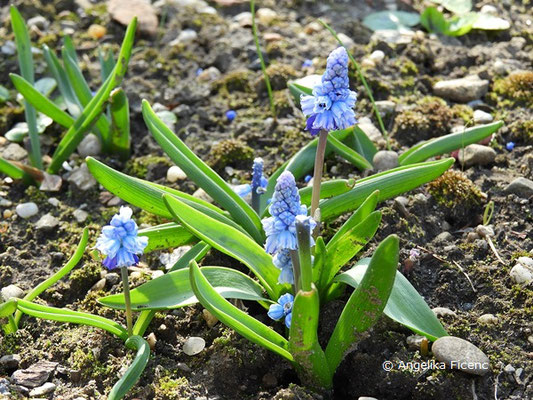 Bellevalia pycnantha - Dichtblütige Bellevalie    © Mag. Angelika Ficenc
