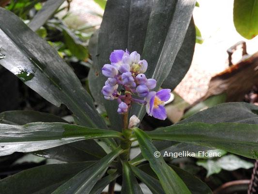 Philodendrum melanochrysum  © Mag. Angelika Ficenc