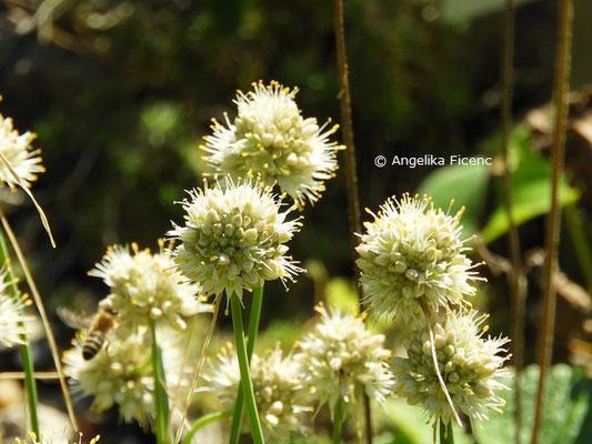 Allium saxatile subsp. tergestinum  © Mag. Angelika Ficenc
