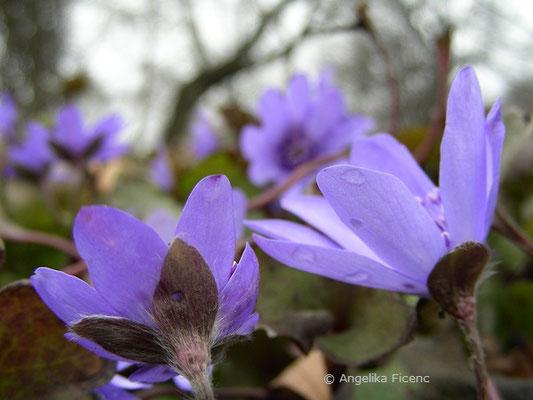 Hepatica transsylvanica - Siebenbürgisches Leberblümchen  © Mag. Angelika Ficenc