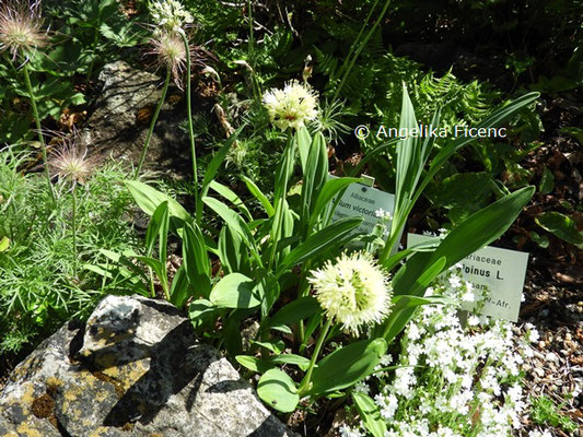 Allium victoralis   © Mag. Angelika Ficenc