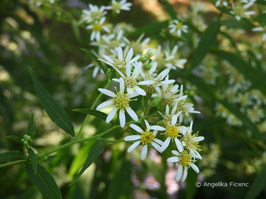 Doelingeria umbellata - Schirm Aster