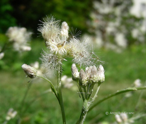 Antennaria dioica - Katzenpfötchen, Samenstände  © Mag. Angelika Ficenc