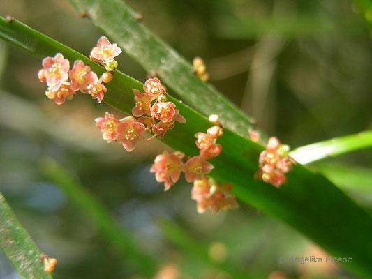 Phyllanthus arbuscula - Blattblüte