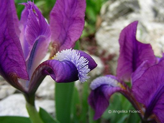 Iris pumila - Zwerg Iris   © Mag. Angelika Ficenc