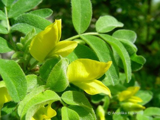 Caragana arborescens - Gewöhnlicher Erbsenstrauch, Blüte