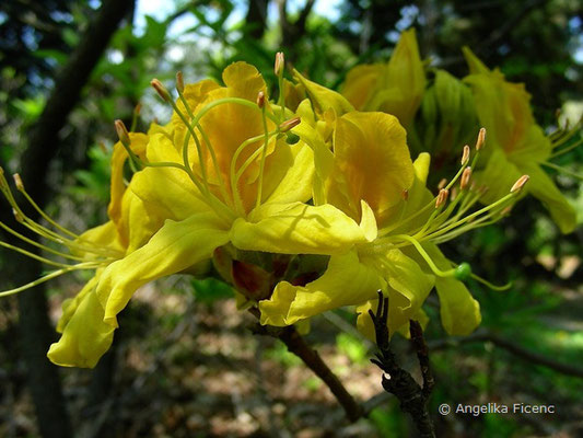 Rhododendron luteum  © Mag. Angelika Ficenc