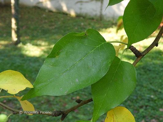 Maclura pomifera, Laubblätter