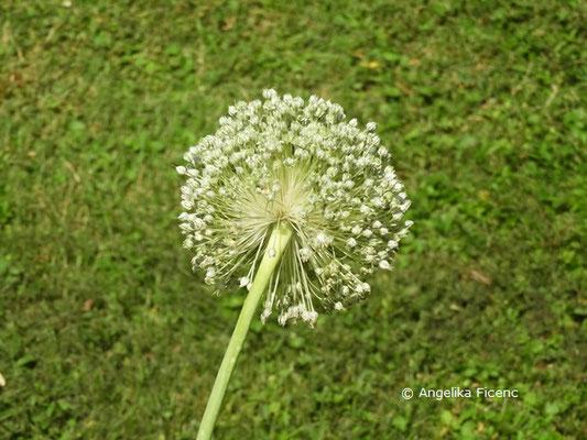 Allium porrum © Mag. Angelika Ficenc