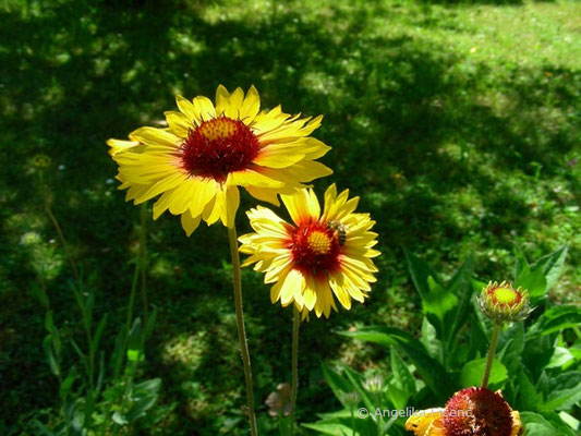 Gaillardia pulchella - Kurzlebige Kokardenblume  © Mag. Angelika Ficenc