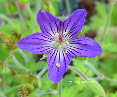 Geranium wlassovianum  © Mag. Angelika Ficenc