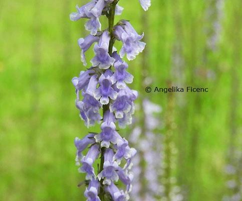 Anarrhinum bellidifolium © Mag. Angelika Ficenc