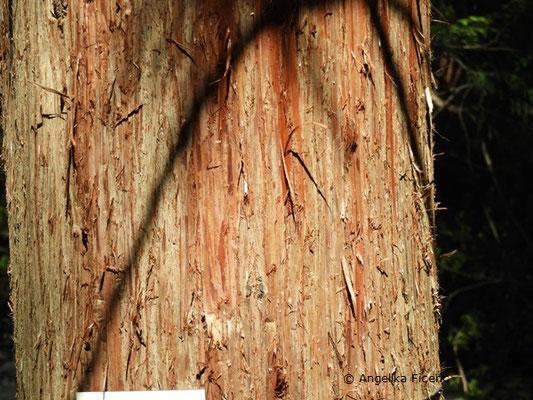 Cryptomeria japonica var. japonica - Japanische Sicheltanne, Stamm