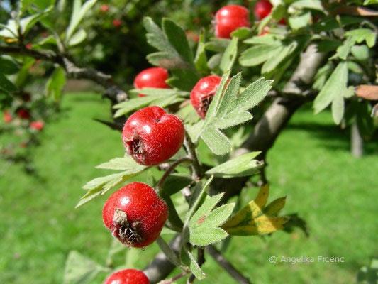 Crataegus monogyna - Eingriffeliger Weißdorn,  reife Früchte