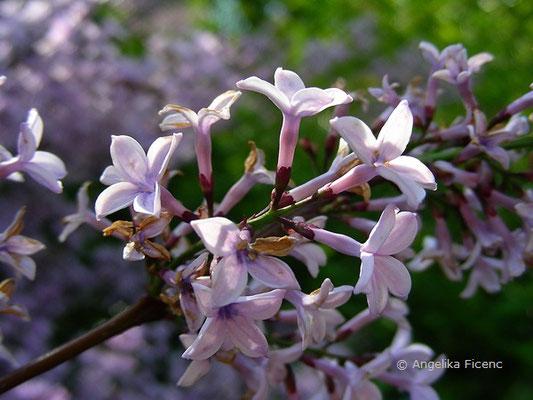 Syringa laciniata - Gelapptblättriger Flieder  © Mag. Angelika Ficenc