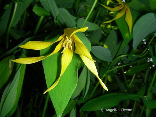 Uvularia grandiflora - Hängegold Glocke    © Mag. Angelika Ficenc