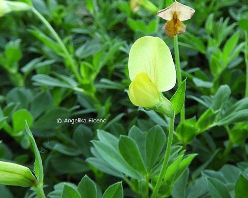 Lotus maritimus © Mag. Angelika Ficenc