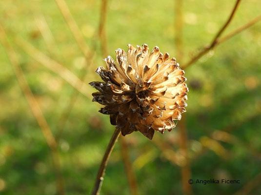 Cephalaria radiata, Fruchtstand  © Mag. Angelika Ficenc