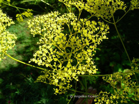 Patrinia scabiosifolia - Goldbaldrian  © Mag. Angelika Ficenc