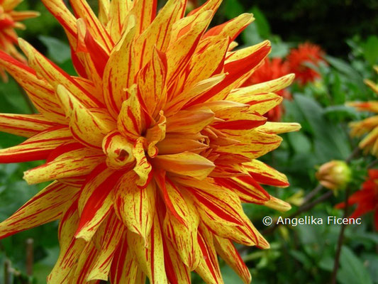 "Dahlia x hortensis ""Biedermannsdorf"" © Mag. Angelika Ficenc"