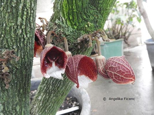 Aristolochia arborea ©  Mag. Angelika Ficenc