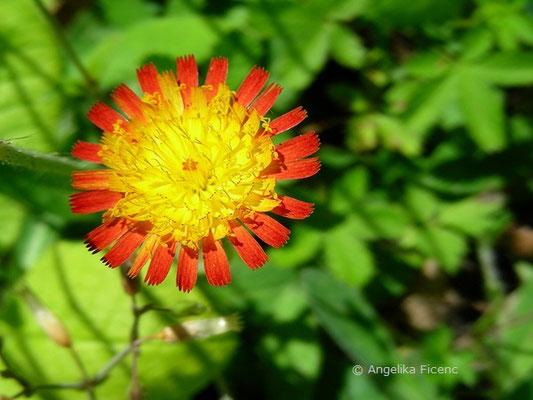 Hieracium stoloniflorum - Flagellen-  © Mag. Angelika Ficenc