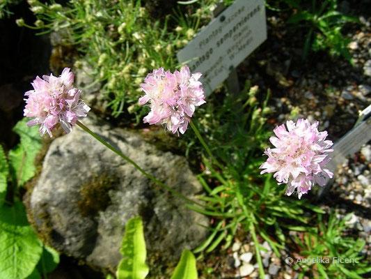 Armeria marginata, Blütenstände