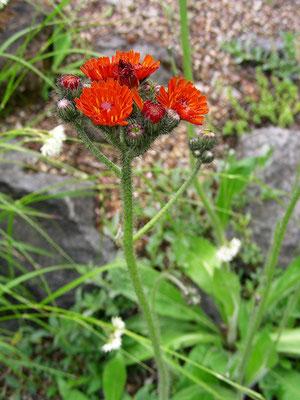 Hieracium auranthiacum - Orangerotes Habichtskraut  © Mag. Angelika Ficenc