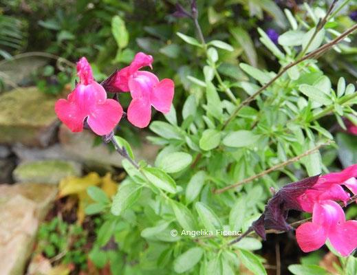 Salvia greggii © Mag. Angelika Ficenc