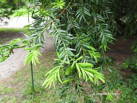 Metasequoia glyptostroboides - Chinesisches Rotholz,   © Mag. Angelika Ficenc