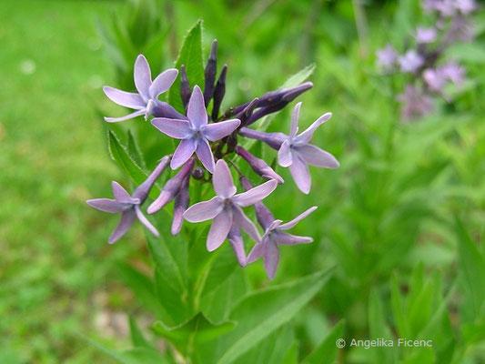 Amsonia orientalis - Röhrenstern, Blütenstand