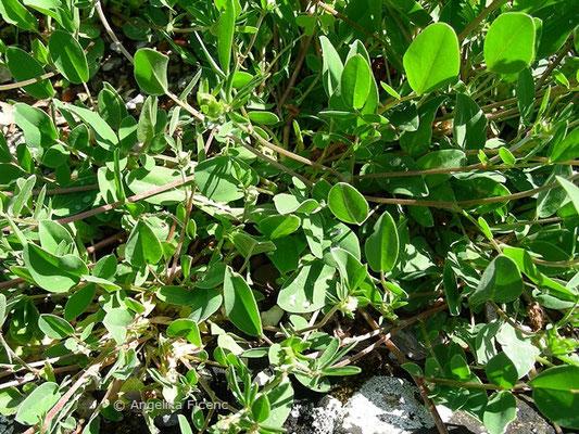 Anthyllus vulneraria ssp. alpicola - Alpen-Wundklee, Grundblätter   © Mag. Angelika Ficenc