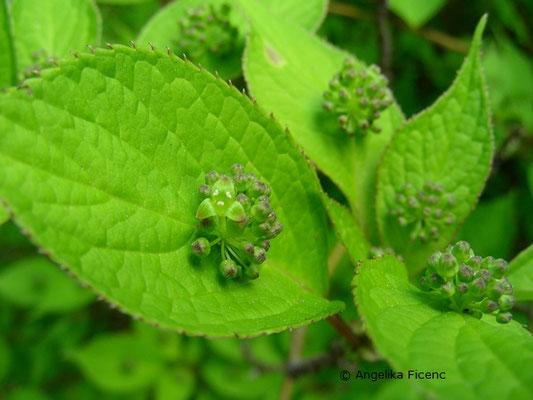 Helwingia japonica - Japanische Helwingia  © Mag. Angelika Ficenc
