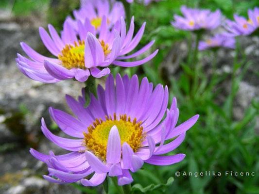 Aster alpinus - Alpenaster, Blüte