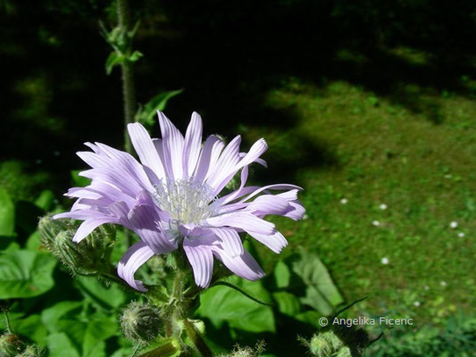 Cicerbita macrophyllum - Großblättriger Milchlattich, Blüte Seitenansicht  © Mag. Angelika Ficenc