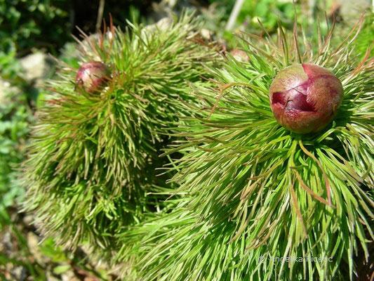 Paeonia tenuifolia - Schmalblättrige Pfingstrose  © Mag. Angelika Ficenc