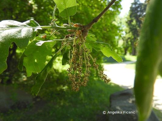 Quercus pubescens - Flaum-Eiche,   © Mag. Angelika Ficenc