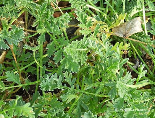 Erodium absinthoides subsp. armenum,   © Mag. Angelika Ficenc