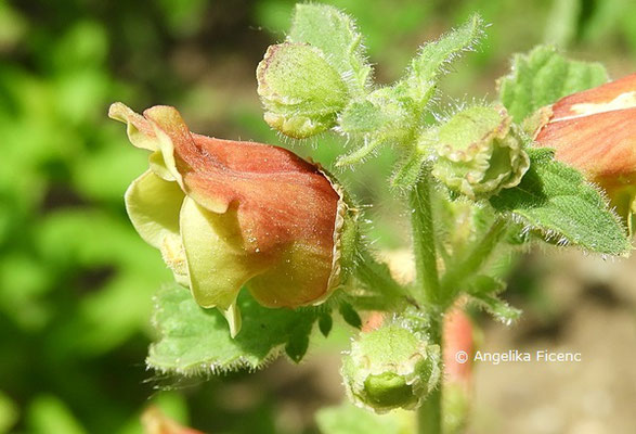 Scrophularia sareptana  © Mag. Angelika Ficenc