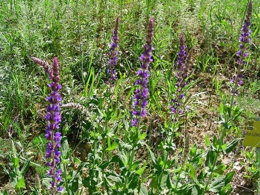 Salvia nemorosa - Steppensalbei