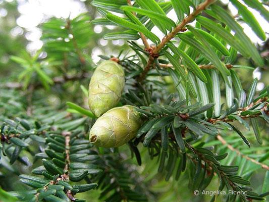 Tsuga canadensis - Helmlocktanne, unreife Zapfen
