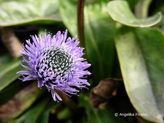 Globularia nudicaulis - Nacktstiel Kugelblume,   © Mag. Angelika Ficenc