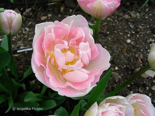 Tulipa Angelique  © Mag. Angelika Ficenc
