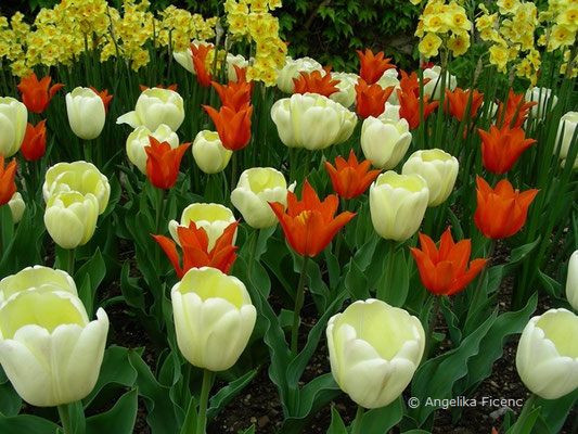 Tulipa ballerina  © Mag. Angelika Ficenc