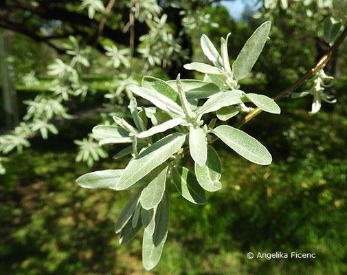 Elaeagnus angustifolia var. angustifolia,   © Mag. Angelika Ficenc