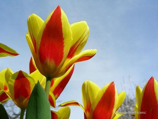Tulipa stresa  © Mag. Angelika Ficenc