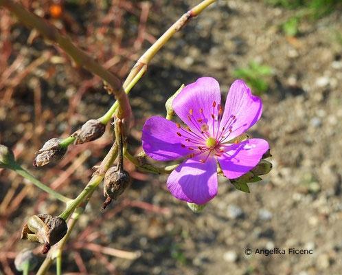 Cistanthe grandifloria (Syn. Calandrinia grandiflora)  © Mag. Angelika Ficenc