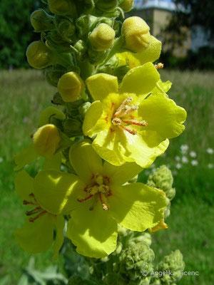 Verbascum speciosum - Pracht Königskerze,   © Mag. Angelika Ficenc