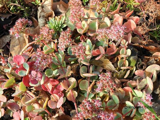 Hylotelephium sieboldii - Oktober-Fettblatt