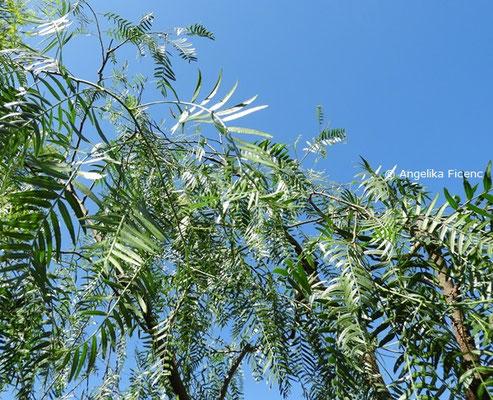 Schinus molle - Gewöhnlicher Pfefferbaum, Laubblätter    © Mag. Angelika Ficenc